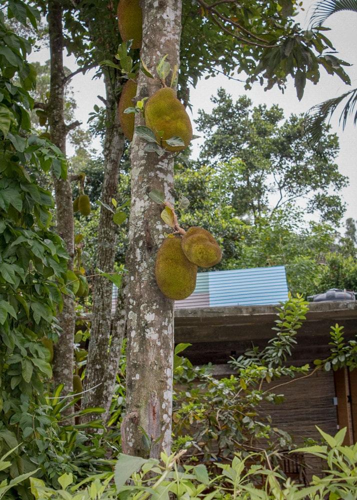 Ella Jackfruit Sri Lanka   Джакфрут, Елла, Шри Ланка