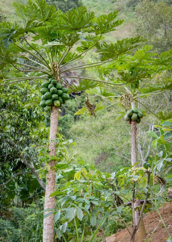 Mango tree Sri Lanka | Мангово дърво, Шри Ланка